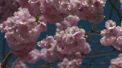 HD1080i Pink spring cherry tree Stock Footage