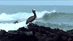 Pelican on lave rocks, Galapagos Islands Stock Footage