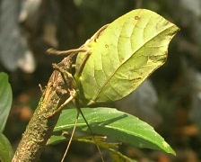 Leaf mimic katydid from the Peruvian Amazon Stock Footage