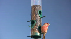 Male House Finch at Feeder Stock Footage