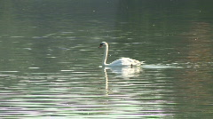 HD1080i Swan swimming at pond Stock Footage