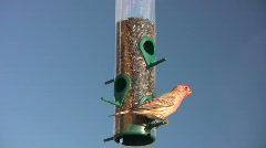 Male House Finch Selecting Seeds Stock Footage