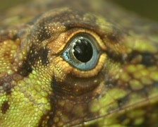 Banded Tree Anole (Anolis transversalis) Close-up of eye Stock Footage