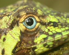 Banded Tree Anole (Anolis transversalis) Close-up of eye Stock Footage