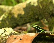 Three-striped Poison Frog (Ameerega trivittata) Stock Footage
