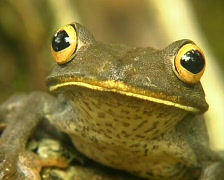 Map treefrog (Hypsiboas geographicus) Stock Footage