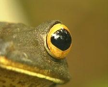 Map treefrog (Hypsiboas geographicus) Stock Footage