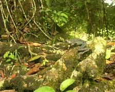 Map treefrog (Hypsiboas geographicus) - stock footage