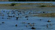 Waterfowl feeding at dusk in Florida coastal marsh  Stock Footage
