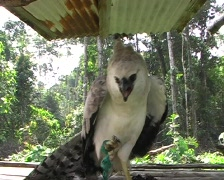 Captive Harpy Eagle in a Huaorani village in the Ecuadorian Amazon Stock Footage