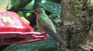 Stock Video Footage of Hummingbird in Peru