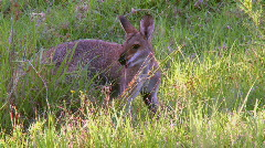 Kangaroo - Pretty-face Wallaby Eating Grass Stock Footage