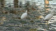 White Bird In Lake 01 Stock Footage