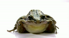Striped Marsh Frog - Isolated on White, Close-up, Low Angle - stock footage