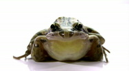 Stock Video Footage of Striped Marsh Frog - Isolated on White, Close-up, Low Angle