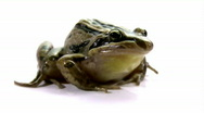Striped Marsh Frog - Isolated on White, Close-up, Low Angle Stock Footage