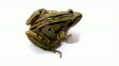 Striped Marsh Frog Jumping - Isolated on White, Close-up, Top View Stock Footage