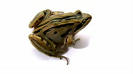 Stock Video Footage of Striped Marsh Frog Jumping - Isolated on White, Close-up, Top View