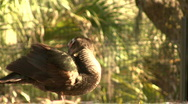Close Up Brown Duck 02 Stock Footage