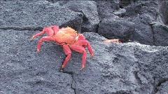 Two Sally Lightfoot Crabs, Galapagos Islands Stock Footage