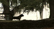 Large Dog In Silhouette 03 Stock Footage