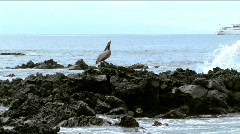 Stock Video Footage of Pelican on lave rocks in Galapagos Islands