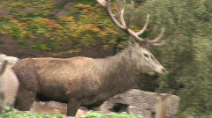 HD1080i Deer breeding season. Red Deer in the Forest. Clip with sound. - stock footage