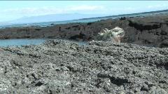 Marine Iguanas head, Galapagos Islands Stock Footage