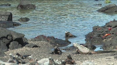 Lots Marine Iguanas on the Galapagos Islands Stock Footage