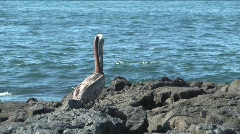 Pelican on lava beach, Galapagos Island Stock Footage