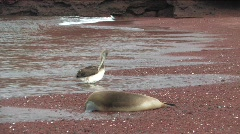 Pelican and sea lion on the Galapagos Island Stock Footage