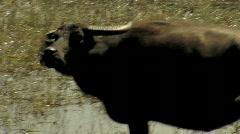Stock Video Footage of Water Buffalo in Marsh