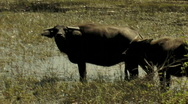 Stock Video Footage of Water Buffalo in Marsh