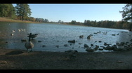 Geese in the park Stock Footage