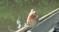 Stock Video Footage of Piranha Fish caught in the Amazon