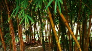 Bamboo Stock Footage