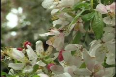 Crap Apple Tree Flowers 1 Stock Footage
