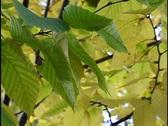 Fall Leaves 3 Stock Footage