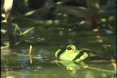 Frog in Water Stock Footage