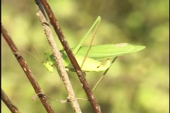 Grasshopper Jumps off Twig Stock Footage