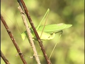 Stock Video Footage of Grasshopper Jumps off Twig