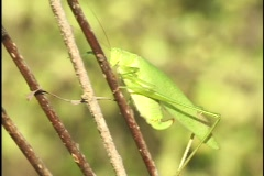 Grasshopper on Twig Stock Footage