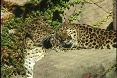 Leopard Licking Leopard Stock Footage