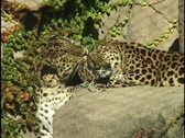 Stock Video Footage of Leopard Licking Leopard