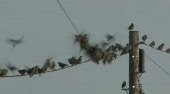 Flock of Starlings fly away Stock Footage