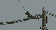 Stock Video Footage of Flock of Starlings fly away