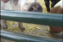 Pig Eating in Pen Stock Footage