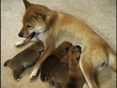 Puppies Nursing 2 Stock Footage
