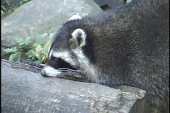 Racoon Stock Footage