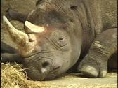 Sad Rhinoceros Stock Footage
